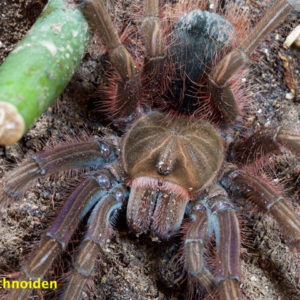 Theraphosa apophysis - Goliath Pink Foot - Mature Female - Photo Credit: https://arachnoiden.com/