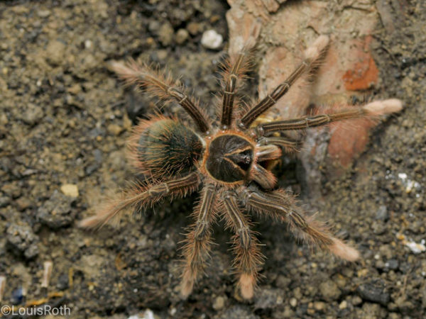 Theraphosa apophysis - Goliath Pink Foot Bird Eater - Sling / Spiderling - Photo Credit: Louis Roth, LR Tarantulas and more