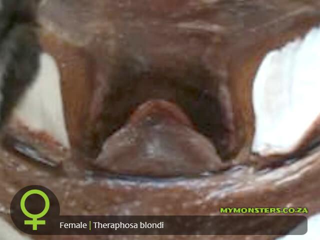 Theraphosa blondi - Goliath Bird Eater - Female Tarantula Spermatheca - Sexing