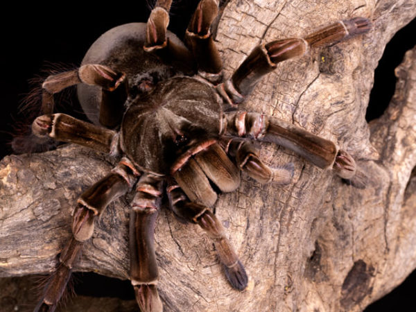 Theraphosa stirmi - Burgundy Goliath Birdeater - Mature Female - Copyright © Danny de Bruyne