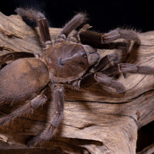 Chilobrachys dyscolus - Asian Smokey / Burma Chocolate Brown - Mature Female - Copyright © Danny de Bruyne