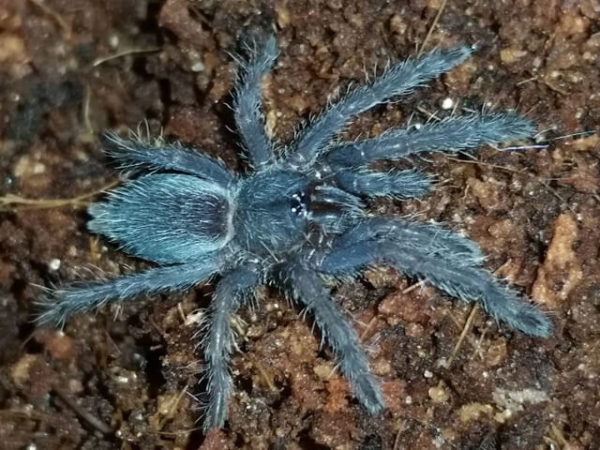 Chilobrachys dyscolus - Asian Smokey, sp Blue Vietnam