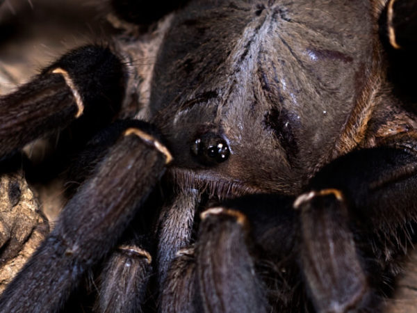 Cyriopagopus minax - Thailand Black