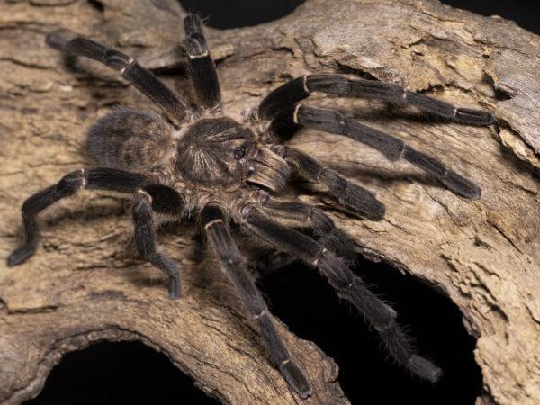 Cyriopagopus minax - Thailand Big Black - Mature MalePhoto Credit Danny de Bruyne