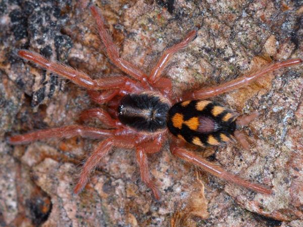 Hapalopus sp. Colombia - Pumpkin Patch - Spideling/Sling - Photo credit: Please contact us / Unknown