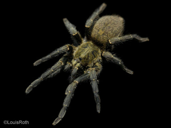 Harpactira marksi - Elizabethfontein Baboon Tarantula - Mature Female - Photo Credit: LR Tarantulas and more