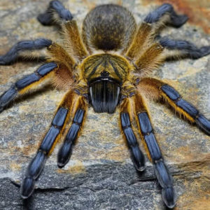 Harpactira pulchripes - Golden Blue Foot Baboon - Illegal in South Africa - Photo Credit - Chase Campbell (CEC Arachnoboards)