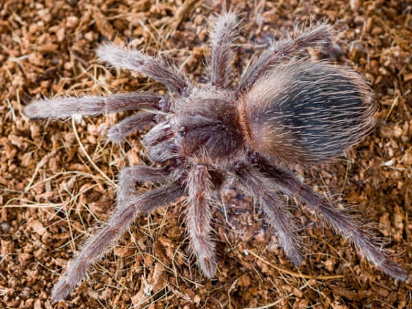 Lasiodora klugi - Scarlet Bird Eater - Spiderling/Sling - Photo Credit: Please contact us / Unknown