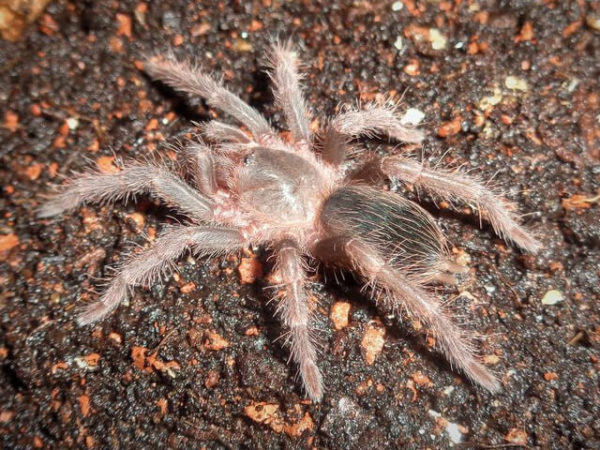 Nhandu carapoensis - Brazilian Red - Spiderling/Sling - Photo Credit: Please contact us / Unknown