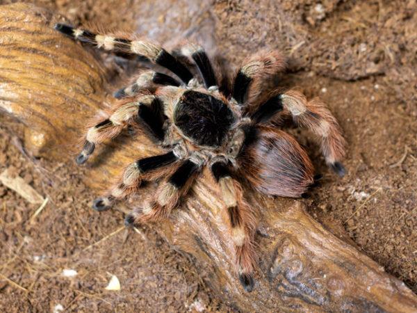 Nhandu coloratovillosus - Brazilian Black & White - Mature Female - Copyright © Danny de Bruyne
