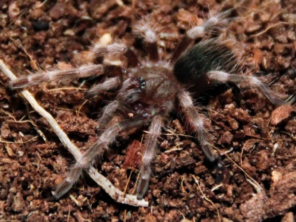 Nhandu coloratovillosus - Brazilian Black & White