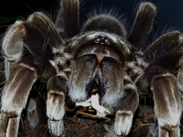 Pamphobeteus machala - Purple Bloom Tarantula - Mature Female - Credit Danny de Bruyne