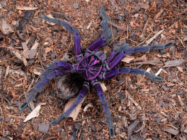 Pamphobeteus sp. machala - Purple Bloom Tarantula - Mature Male - Copyright © Danny de Bruyne