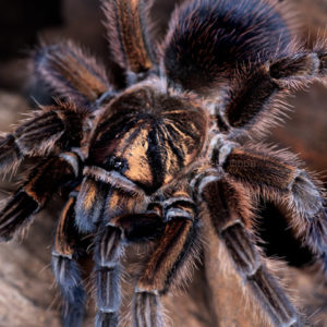 Phormictopus cancerides - Haitian Brown (Copper Phase) - Mature Female - Photo Credit: ©Danny de Bruyne