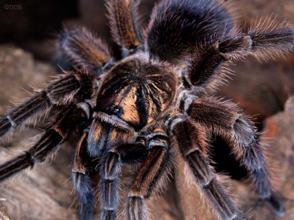 Phormictopus cancerides - Haitian Brown (Copper Phase) - Mature Female - Photo Credit: ©Danny de Bruyne