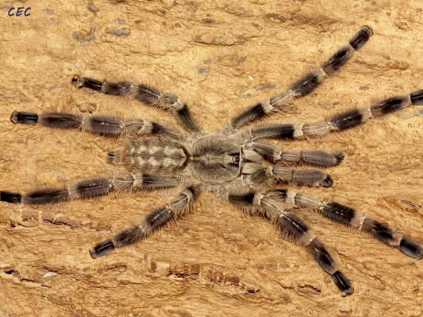 Poecilotheria miranda - Bengal Spotted Ornamental - Mature Male - Photo Credit - Chase Campbell (CEC Arachnoboards)