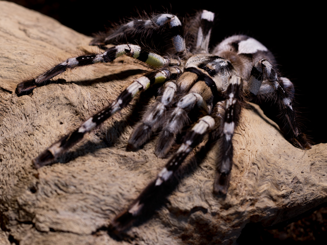 Poecilotheria regalis - Indian Ornamental - Mature Female - Copyright © Danny de Bruyne