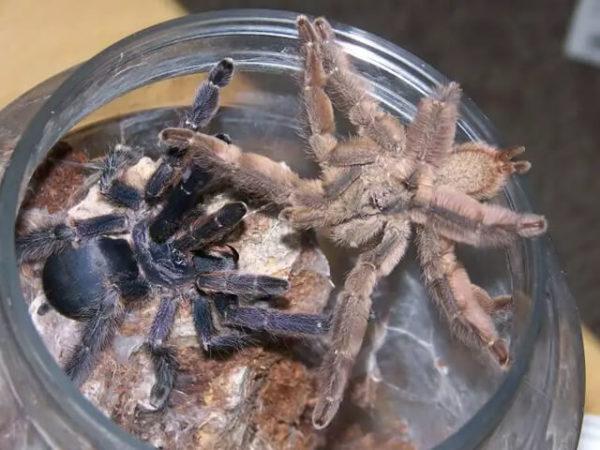 Tapinauchenius cupreus - Violet Tree Spider