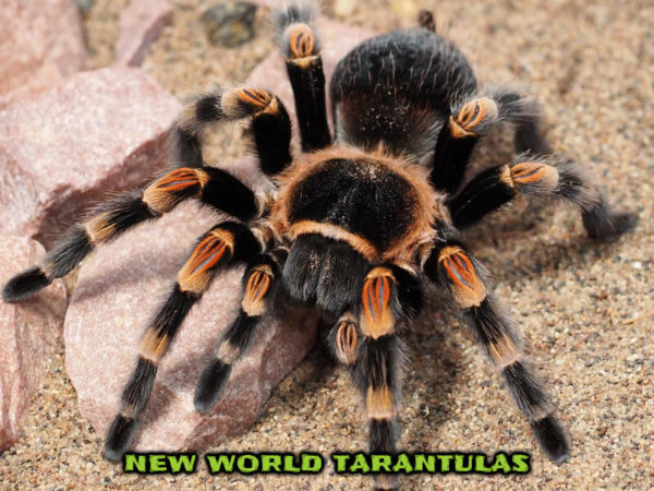 New World Tarantulas