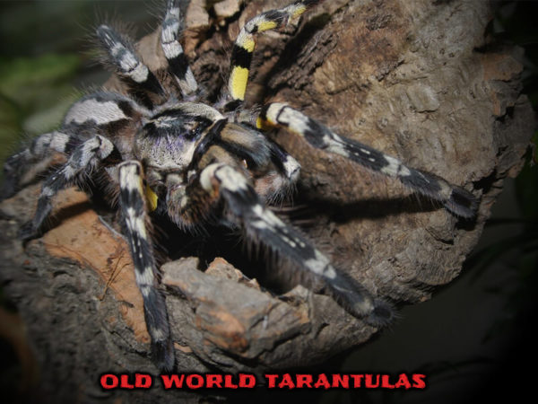 Old World Tarantulas