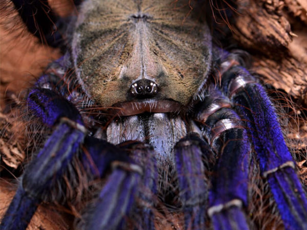Lampropelma violaceopes - Singapore Blue