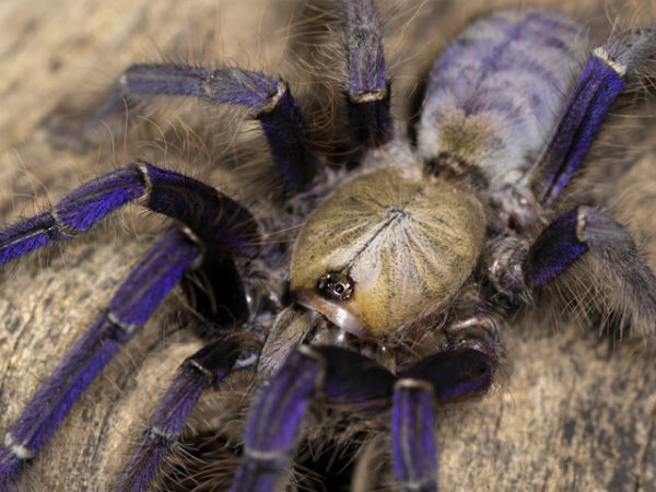 Lampropelma violaceopes - Singapore Blue - Mature Female - Copyright © Danny de Bruyne