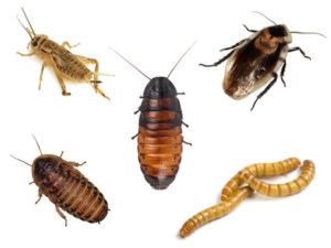 Tarantula Feeder Insects
