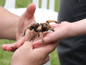 Handling Tarantulas