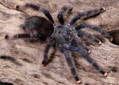 Avicularia avicularia - Common Pink Toe - Mature Female - Copyright © Danny de Bruyne