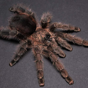 Avicularia merianae - Mature Female - Tarapoto Pink Toe - Photo Credit: Chase Campbell, CEC Arachnoboards