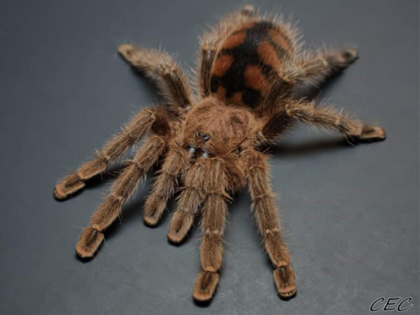 Avicularia minatrix - Mature Female - Red Slate Pink Toe - Photo Credit: Chase Campbell, CEC Arachnoboards