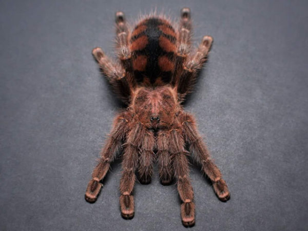 Avicularia minatrix - Red Slate Pink Toe - Mature Female - Photo Credit: Chase Campbell, CEC Arachnoboards