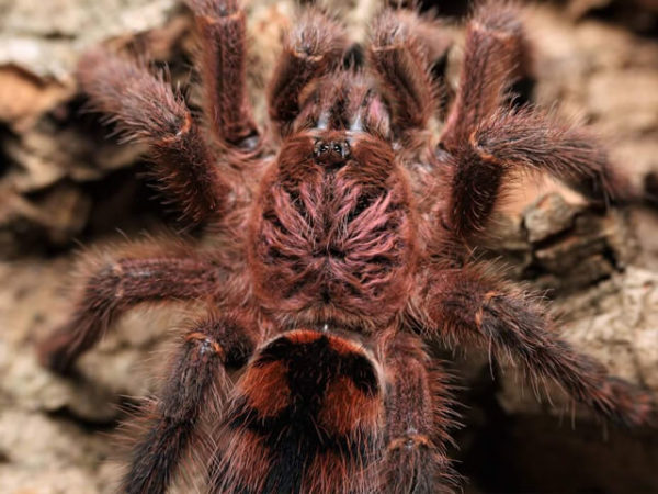 Avicularia minatrix - Red Slate Pink Toe - Juvenile - Photo Credit: Chase Campbell, CEC Arachnoboards