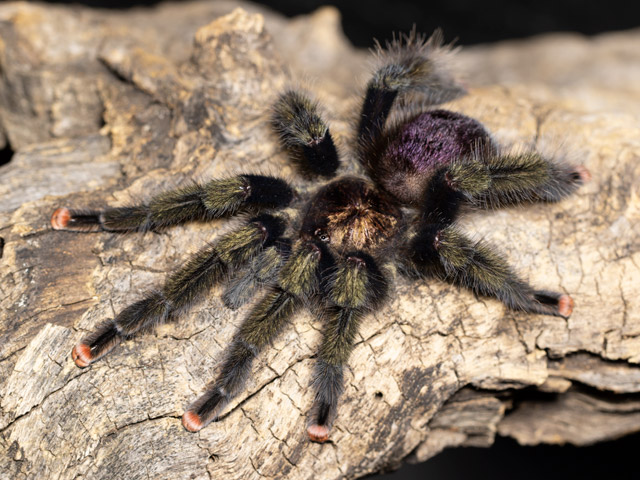 Avicularia sp. Pucallpa - Pucallpa Pink Toe / Mardi Gras Pink Toe - Mature Male - Copyright © Danny de Bruyne
