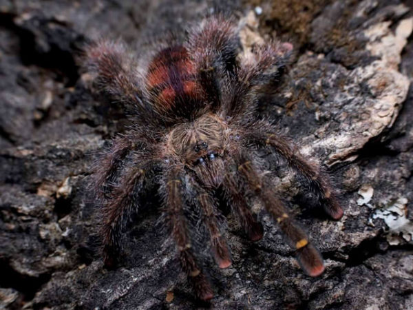 Sling Avicularia rufa - Yellow Banded Pink ToePhoto Credit: Chase Campbell, CEC Arachnoboards