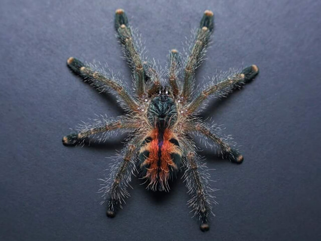 Sling Avicularia variegata - Brick Red Pink ToePhoto Credit: Chase Campbell, CEC Arachnoboards