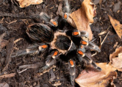 Brachypelma auratum - Mexican Flame Knee - Juvenile Female - Copyright © Danny de Bruyne