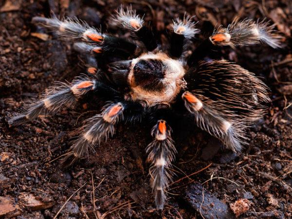 Brachypelma auratum - Mexican Flame Knee - Juvenile Male - Copyright © Danny de Bruyne