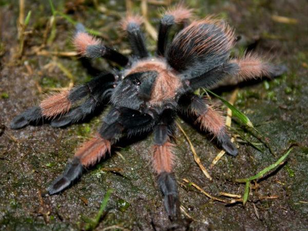 Brachypelma emilia - Mexican Red LegPhoto Credit: Isaiah Rosales - FlexZone Arachnoboards