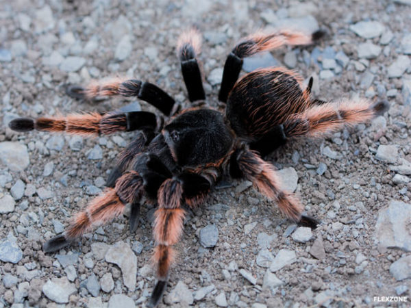 Brachypelma klaasi - Mexican Pink - Mature Female - Photo Credit: Isaiah Rosales - FlexZone Arachnoboards