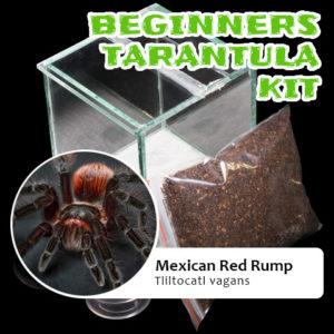 Beginners Tarantula Kit Mexican Red Rump - Brachypelma vagans