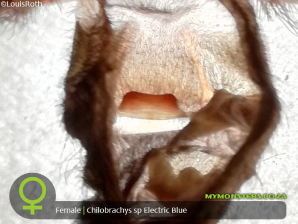 Chilobrachys sp. Electric Blue - Electric Blue Earth Tiger - Female Tarantula Spermatheca - Sexing