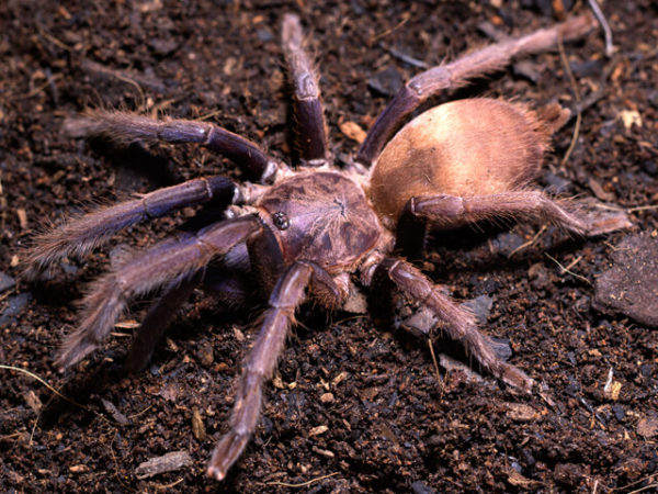 Chilobrachys dysclous sp. Vietnam Blue - Vietnam Blue Earth Tiger - Mature Female - Copyright © Danny de Bruyne