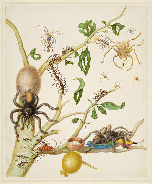 Maria Sybilla Merian's famous illustration: Merian's drawing of a tarantula devouring a hummingbird was criticized as impossible during the Victorian era, only to later be confirmed.