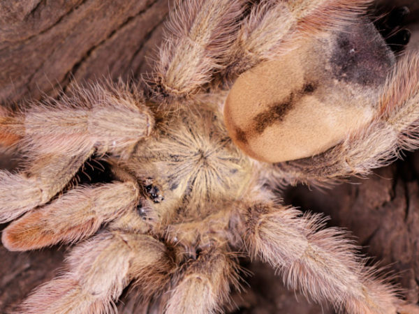 Psalmopoeus pulcher - Panama Blonde - Mature Female - Photo Credit: Danny de Bruyne