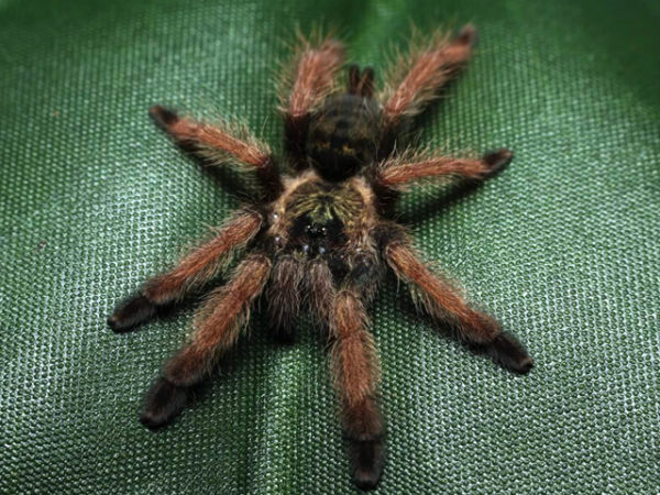 Psalmopoeus pulcher - Panama blondePhoto Credit: Chase Campbell, CEC Arachnoboards