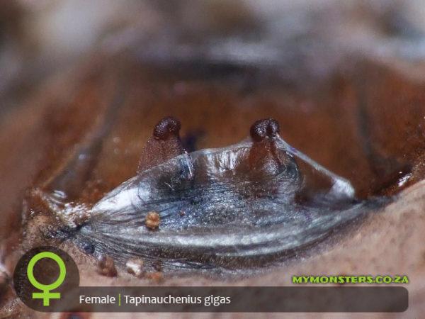 Tapinauchenius gigas - Orange Tree Spider - Female Tarantula Spermatheca - Sexing