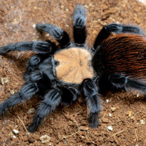 Mature Female Brachypelma albiceps - Mexican Golden Red RumoPhoto Credit: www.spidersworld.eu