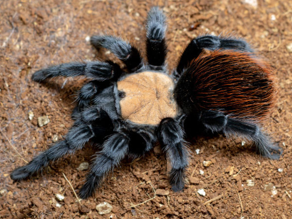 Brachypelma albiceps - Mexican Golden Red Rump - Mature Female - Copyright © Danny de Bruyne