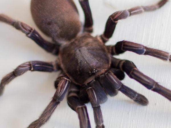 Chilobrachys sp. Cambodia Blue - Mature Female. Photo Credit: www.samanthajacksonphotography.co.za